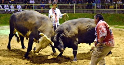 In UshiOrase, a fierce battle between two bulls provided thrills at the multidisciplinary events square (bull ring) on the night of August 22