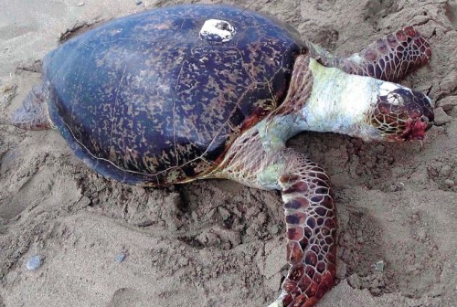 GPS shows sea turtle drifted from Saipan to Kunigami