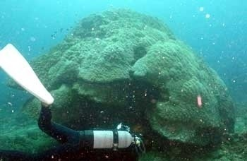 Huge hamasango corals or Porites cylindrica, which is 6 meters in diameter, at Yokobishi reef (water depth about 13 meters)