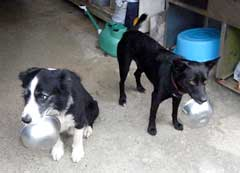 Butch and Charo carry their bowls in their month to get food from the owners.