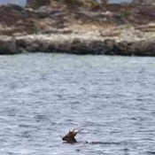 Kerama deer swims across sea searching for a mate
