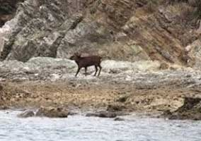 The deer reached the nothern shore on November 2. (All photographs provided by Tokashiki Village Office)