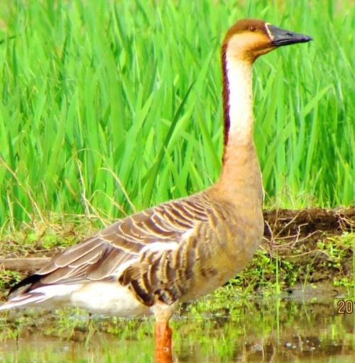 Kijoka elementary school children find swan goose