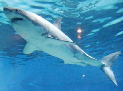 A 3.5-meter long male great white shark was exhibited at Okinawa Churaumi Aquarium in Motobu on January 6.