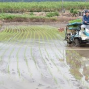 Rice planting starts in Iriomote Island, earliest harvest in Japan