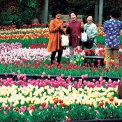 80,000 colorful tulips at Okinawa Expo Park