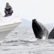 Friendly humpback whales greet Zamami visitors