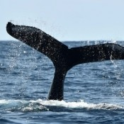 32 whales blow seawater – whale-watching season at peak in Zamami