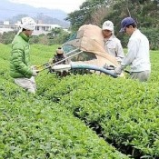 This year's first crop of tea leaves harvested in Nago