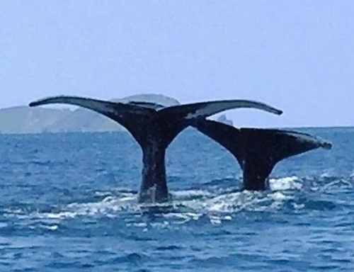 Whale couple dance in Tokashiki