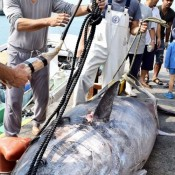 Biggest tuna caught in Ishigaki