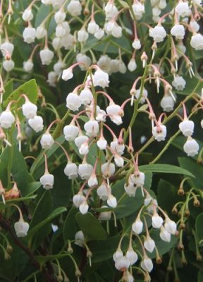 Best time to view the small white flower of Vaccinium wrightii A. Gray in Higashi.