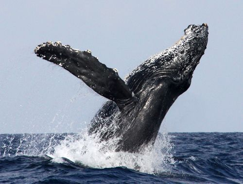 Okinawa Churashima Foundation confirms humpback whale mate between January and February