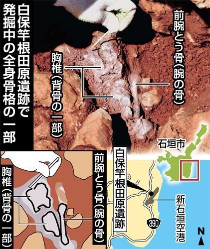 (Top left) thoracic vertebrae and (top right) forearm bone (Bottom left) clear rendering of top photograph (Bottom right) map showing positioning of Shiraho Saonetabaru Cave Ruins [black dot] and Shin-Ishigaki Airport [grey shape]