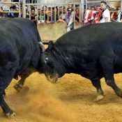 Tosho Hayate defends his twelfth champion title at All Okinawa Bullfighting Summer Tournament