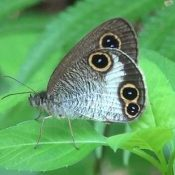 Rare butterfly spotted around planned site for US helipad in Takae