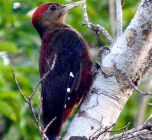 Rare Okinawa woodpecker spotted in Takae
