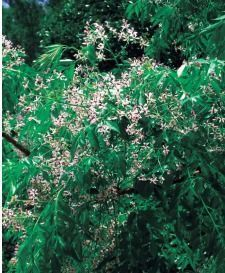 Chinaberry growing in Yambaru, the forested northern part of mainland Okinawa.