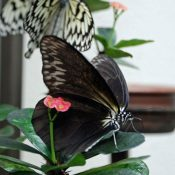One-in-200,000 black rice paper butterfly discovered in southern part of Okinawa Island