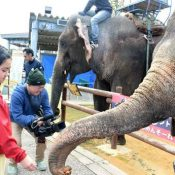 Elephants from Fukushima spend winter in Okinawa where they can eat their favourite food, sugar cane