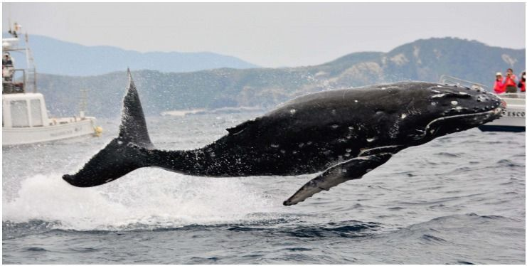 Whales bounce off the coast of Zamami Island