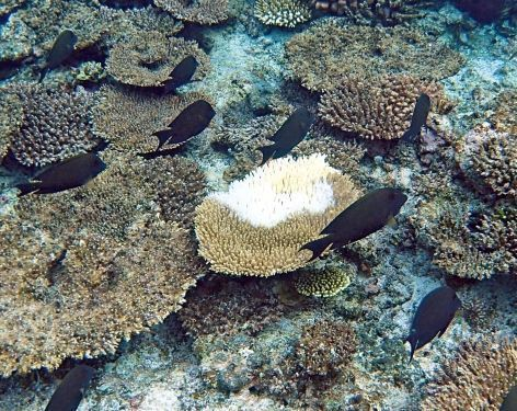 MIyako Island coral reef dies due to high water temperatures
