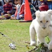Cheers for cute white lion cub at Okinawa Zoo