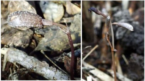 Discovery of new orchid in Yambaru reported in international journal