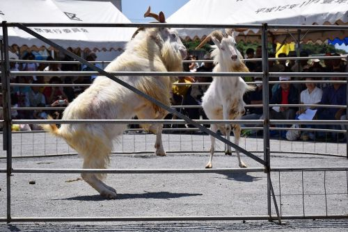 500 people enjoyed goat fighting on Sesoko-jima