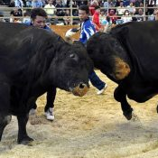 Fearless bullfights entertain 4000 onlookers