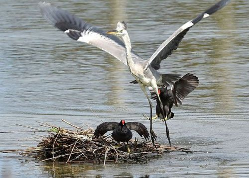 Bird Week: protecting young ones with parental love