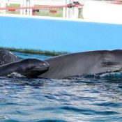 Hello baby! A baby of false killer whale born