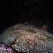 Coral spawning confirmed at Oura Bay