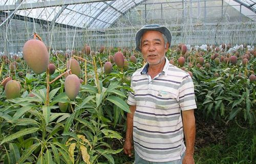 1,000 Mangoes on one tree at Higa's Farm in Nakijin!
