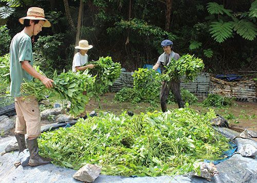 Yoshimatsu Higa continues traditional cultivation and production of Ryukyu Dye into its 3rd generation