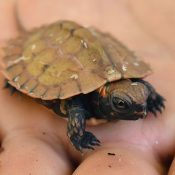 Three newborn Yamagame turtles may provide hints to rare biology