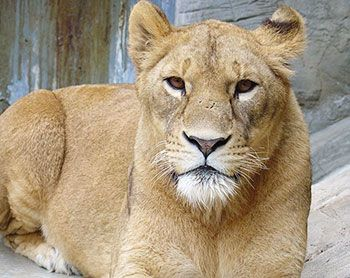 Farewell Ringo, a female lion finishes her life at 18 years of age