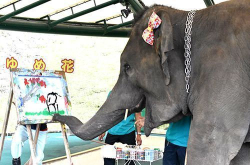 Yumeka the artistic elephant welcomed to Okinawa Zoo & Museum in hopes of getting pregnant