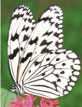 "Tree Nymph Butterfly takes the top spot in the ""Haberu General Election"""