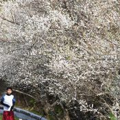 Enticed by the sunlight, white plum blossoms bloom in Genka, Nago