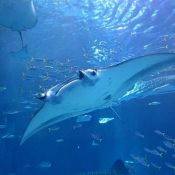 Study proves for the first time that mantas become adults at five years old