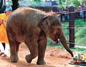 Idol of the Okinawa Zoo, first Okinawa-born elephant dies