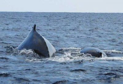 Parent and child humpback whales spotted in Oura Bay