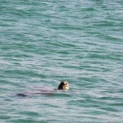 Sea turtle found around new military base in Henoko