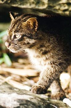 Iriomote Cat killed in traffic accident on Iriomote island for third time this year