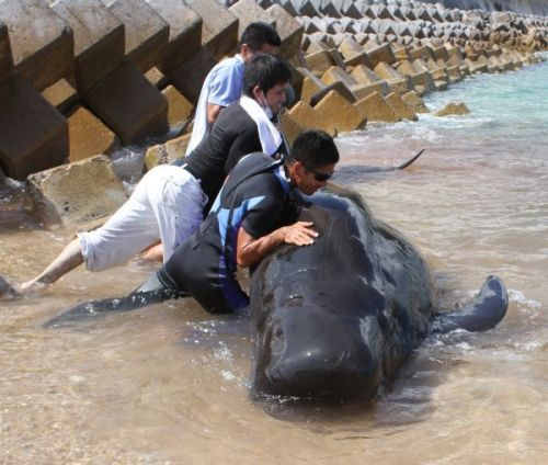 Whale returned to the sea in Nago after six-hour rescue effort by discoverer and Churashima Foundation employees
