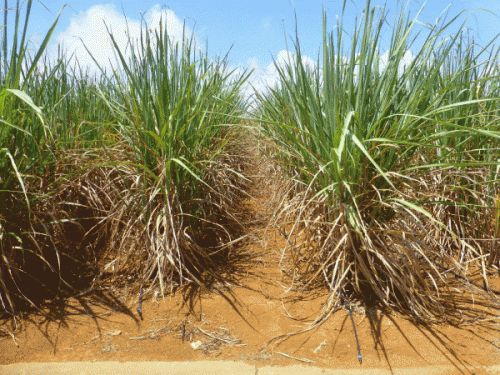 Sugarcane fields take a hit from a dry rainy season, some villages consider rationing water