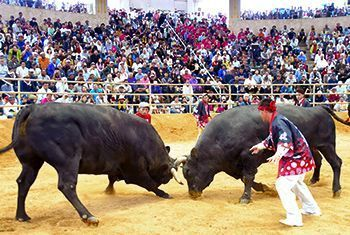 Bullfighting designated as Uruma City's cultural property