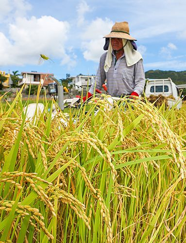 Farmers in Kin harvest first crop of golden rice shining under sun
