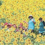 Sunflower in full blossom after kindergarteners planted seeds in Motobu